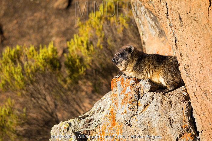 Rock hyrax (Procavia capensis) Bale Mountains National Park, Ethiopia  -  Will Burrard-Lucas/ npl