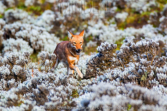 Ethiopian Wolf (Canis simensis) female returning to nest with rat prey, Bale Mountains National Park, Ethiopia  -  Will Burrard-Lucas/ npl
