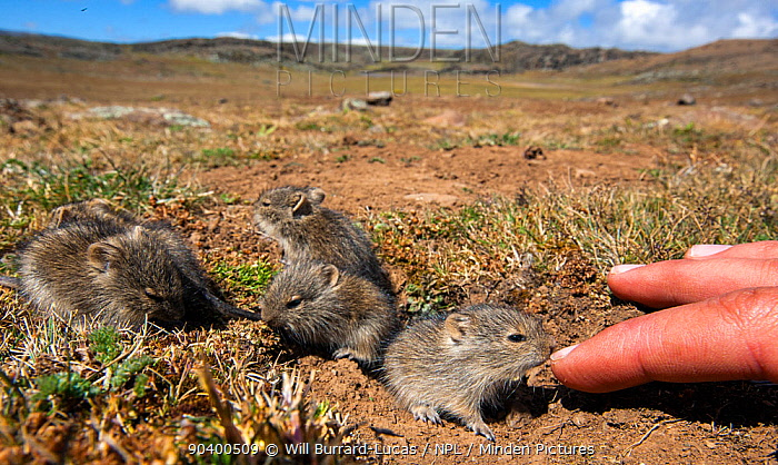 Blicks grass rats (Arvicanthis blicki) babies, habituated to the photographer investigating hand, Bale Mountains National Park, Ethiopia  -  Will Burrard-Lucas/ npl