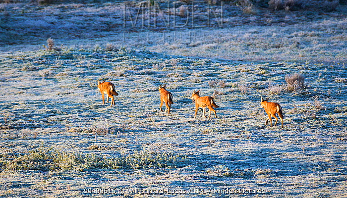 Ethiopian wolves (Canis simensis) patrolling their territory on a frosty morning, Bale Mountains National Park, Ethiopia  -  Will Burrard-Lucas/ npl