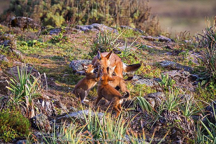 Ethiopian Wolf (Canis simensis) pups greeting parent, Bale Mountains National Park, Ethiopia  -  Will Burrard-Lucas/ npl