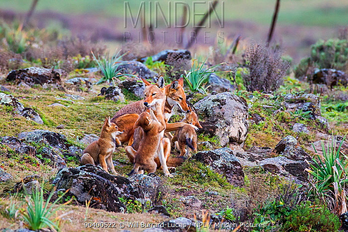 Ethiopian Wolf (Canis simensis) pack playing, Bale Mountains National Park, Ethiopia  -  Will Burrard-Lucas/ npl