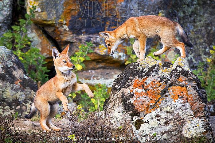 Ethiopian Wolf (Canis simensis) pups, Bale Mountains National Park, Ethiopia  -  Will Burrard-Lucas/ npl
