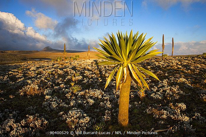 Giant lobelia (Lobelia rhyncopetalum) Bale Mountains National Park, Ethiopia  -  Will Burrard-Lucas/ npl