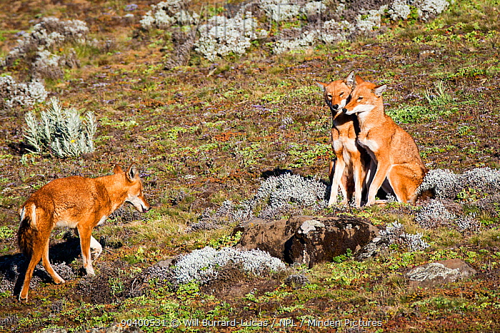 Ethiopian Wolf (Canis simensis) pack members greeting each other, Bale Mountains National Park, Ethiopia  -  Will Burrard-Lucas/ npl