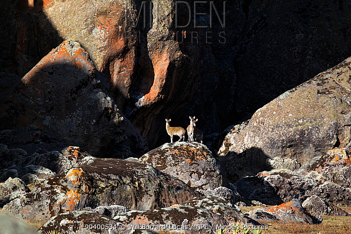Klipspringers (Oreotragus oreotragus) amongst the granite pillars of Rafu Bale Mountains National Park, Ethiopia  -  Will Burrard-Lucas/ npl