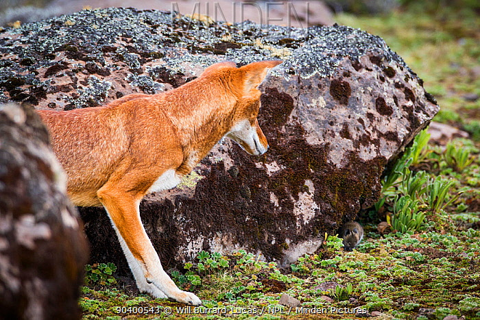 Ethiopian Wolf (Canis simensis) watching Grass rat prey, Bale Mountains National Park, Ethiopia  -  Will Burrard-Lucas/ npl