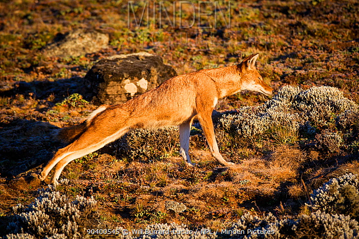 Sub-adult Ethiopian Wolf (Canis simensis) stretching, Bale Mountains National Park, Ethiopia  -  Will Burrard-Lucas/ npl