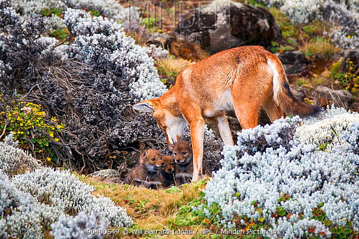 Ethiopian Wolf (Canis simensis) babies emerging from den for the first time, Bale Mountains National Park, Ethiopia  -  Will Burrard-Lucas/ npl