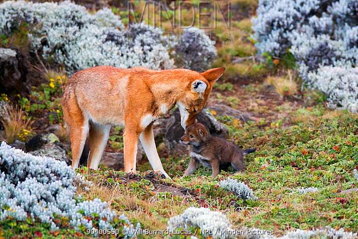 Ethiopian Wolf (Canis simensis) male with young cub, Bale Mountains National Park, Ethiopia  -  Will Burrard-Lucas/ npl