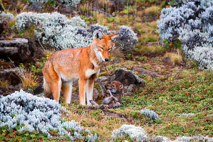 Ethiopian Wolf (Canis simensis) cub falling backwards, with mother, Bale Mountains National Park, Ethiopia  -  Will Burrard-Lucas/ npl