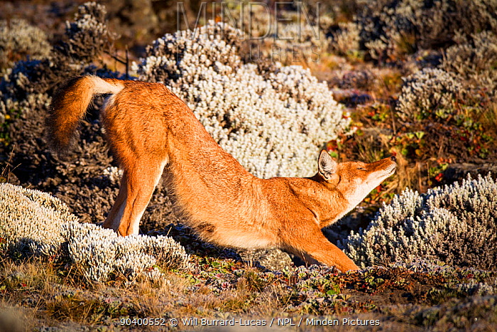 Ethiopian Wolf (Canis simensis) stretching, Bale Mountains National Park, Ethiopia  -  Will Burrard-Lucas/ npl