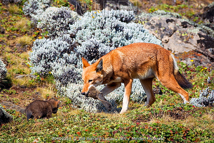 Ethiopian Wolf (Canis simensis) male returning to den with Grass rat (Arvicanthis blicki) prey, Bale Mountains National Park, Ethiopia  -  Will Burrard-Lucas/ npl