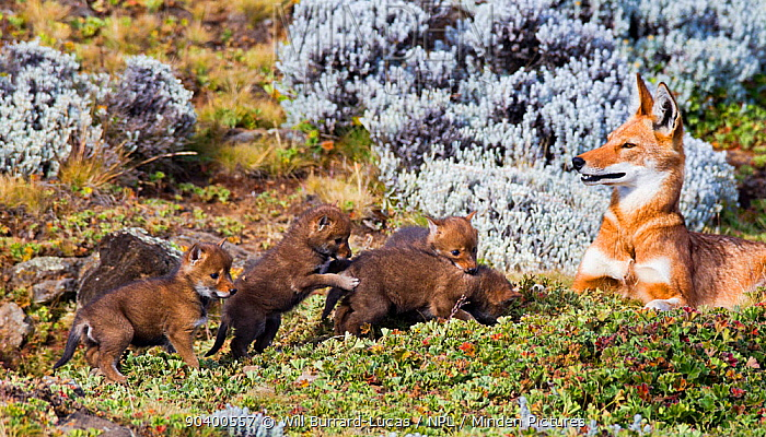 Ethiopian Wolf (Canis simensis) mother with four three week pups, Bale Mountains National Park, Ethiopia  -  Will Burrard-Lucas/ npl