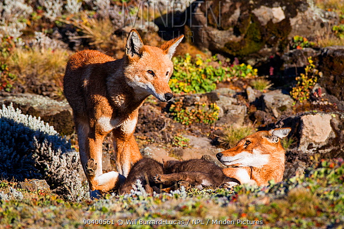 Ethiopian Wolf (Canis simensis) father and mother with pups suckling Bale Mountains National Park, Ethiopia  -  Will Burrard-Lucas/ npl