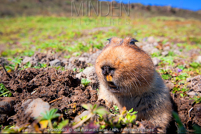 Big-headed mole rat (Tachyoryctes macrocephalus) appearing from its hole, Bale Mountains National Park, Ethiopia Taken with remote camera  -  Will Burrard-Lucas/ npl