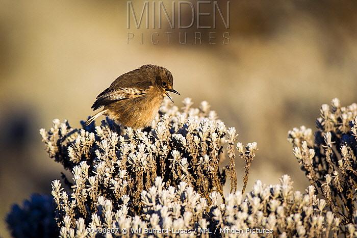 Moorland Chat (Cercomela sordida) singing, Bale Mountains National Park, Ethiopia  -  Will Burrard-Lucas/ npl