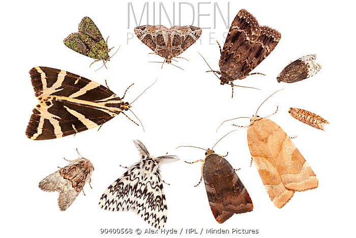 A selection of moths attracted to a Robinson moth trap, using a mercury vapour bulb Clockwise from top left: Tree-lichen Beauty (Cryphia algae), Small Phoenix (Ecliptopera silaceata), Copper Underwing (Amphipyra pyramidea), Birch Marble (Apotomis betuletana), Lozotaeniodes formosanus, Broad-bordered Yellow Underwing (Noctua fimbriata), Lesser Broad-bordered Yellow Underwing (Noctua janthe), Black Arches (Lymantria monacha), Nut-tree Tussock (Colocasia coryli) and Jersey Tiger Moth (Euplagia quadripunctaria) All species photographed in mobile field studio on a white background Surrey, UK August Digital composite  -  Alex Hyde/ npl