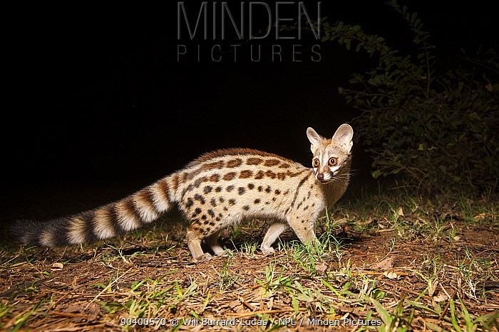 Genet (Genetta) at night, taken with remote camera South Luangwa National Park, Zambia  -  Will Burrard-Lucas/ npl