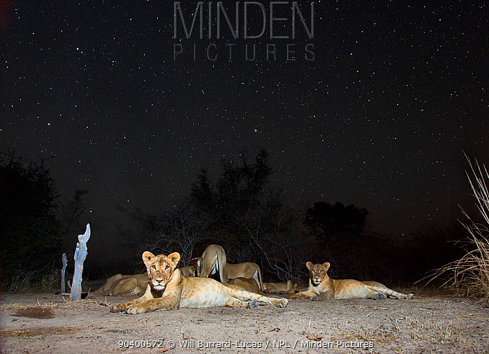 Small pride of Lions (Panthera leo) on starry night South Luangwa National Park, Zambia  -  Will Burrard-Lucas/ npl