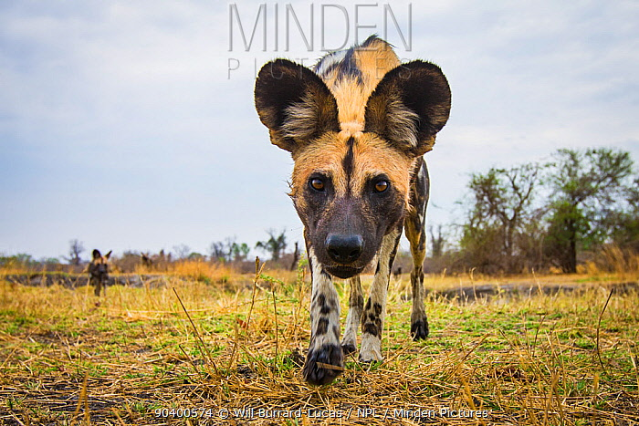 African wild dogs (Lycaon pictus) investigating remote camera, South Luangwa National Park, Zambia  -  Will Burrard-Lucas/ npl