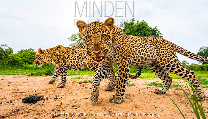 African leopard (Panthera pardus pardus) mother with cub snarling at remote camera South Luangwa National Park, Zambia  -  Will Burrard-Lucas/ npl