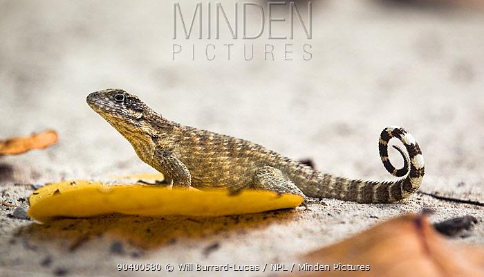 Curly tailed lizard (Leiocephalus carinatus) on beach, Little Caiman Island, Cayman Islands  -  Will Burrard-Lucas/ npl