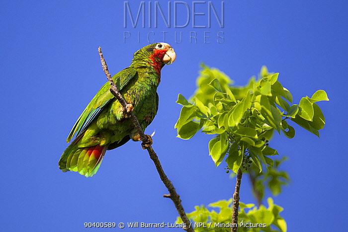 Cuban Amazon (Amazona leucocephala) perched, Grand Cayman Island, Cayman Islands  -  Will Burrard-Lucas/ npl