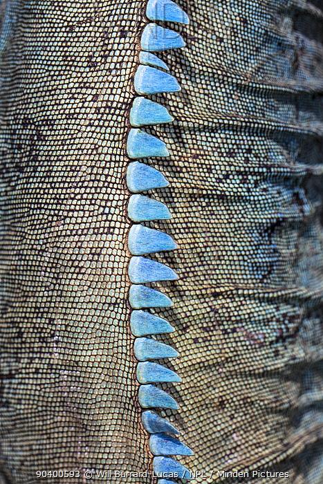 Grand Cayman blue iguana (Cyclura lewisi) close up of spines, Queen Elizabeth II Botanic Park Grand Cayman Island, Cayman Islands  -  Will Burrard-Lucas/ npl