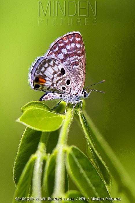Cayman Lucass Blue butterfly (Cyclargus ammon erembis) Grand Cayman Island, Cayman Islands Endemic subspecies  -  Will Burrard-Lucas/ npl
