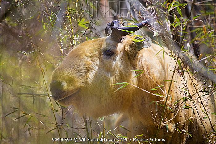 Golden takin (Budorcas taxicolor bedfordi) Qinling Mountains, Shaanxi Province, China  -  Will Burrard-Lucas/ npl