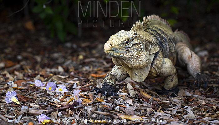 Cayman Island Brown Iguana (Cyclura nubila caymanensis) Cayman Brac Island, Cayman Islands  -  Will Burrard-Lucas/ npl