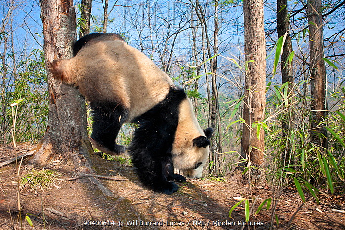 Giant Panda (Ailuropoda melanoleuca) young male scent marking tree, Qinling Mountains, China, April  -  Will Burrard-Lucas/ npl