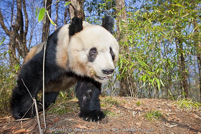 Giant Panda (Ailuropoda melanoleuca) young male, Qinling Mountains, China, April  -  Will Burrard-Lucas/ npl
