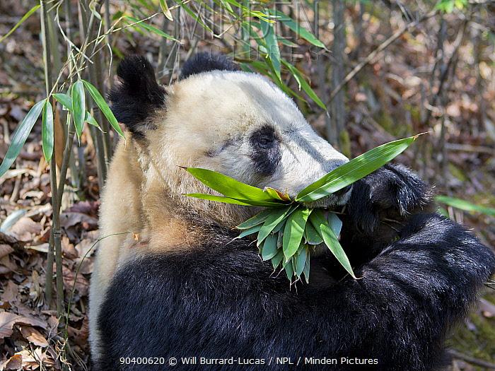 Giant Panda (Ailuropoda melanoleuca) feeding on bamboo, Qinling Mountains, China, April  -  Will Burrard-Lucas/ npl