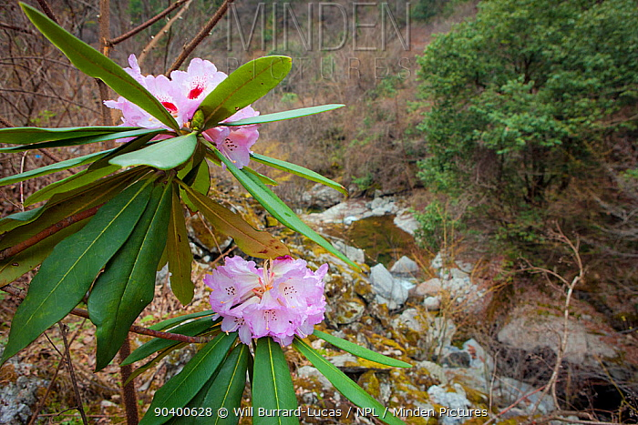Rhododendron in habitat, Foping Nature Reserve, Qinling Mountains, China  -  Will Burrard-Lucas/ npl