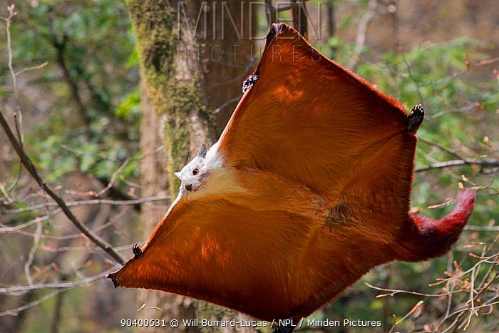 Red and White Giant Flying Squirrel (Petaurista alborufus) gliding, Foping Nature Reserve, Qinling Mountains, Shaanxi province, China  -  Will Burrard-Lucas/ npl