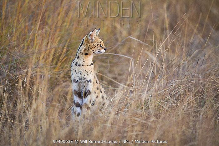 Serval (Leptailurus serval) Busanga Plains, Kafue National Park, Zambia  -  Will Burrard-Lucas/ npl