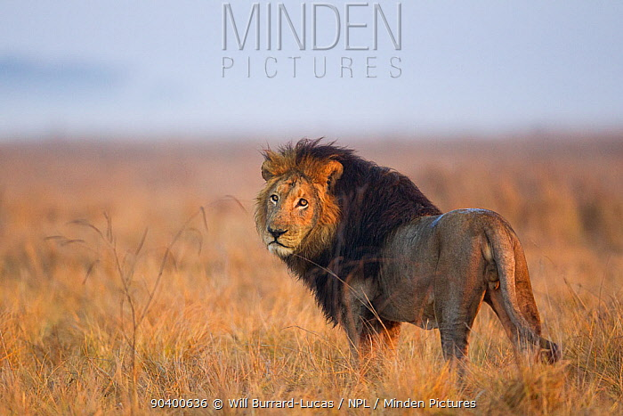 Lion (Panthera leo) in grassland, Busanga Plains, Kafue National Park, Zambia  -  Will Burrard-Lucas/ npl