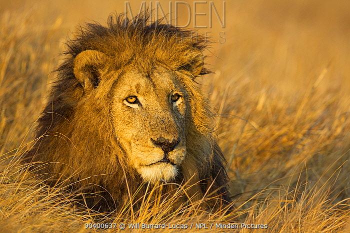 Lion (Panthera leo) resting in grassland, Busanga Plains, Kafue National Park, Zambia  -  Will Burrard-Lucas/ npl