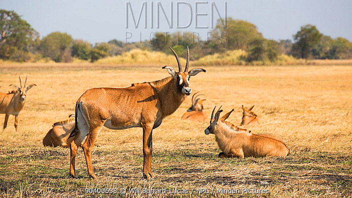 Roan antelope (Hippotragus equinus) herd resting, Busanga Plains, Kafue National Park, Zambia  -  Will Burrard-Lucas/ npl