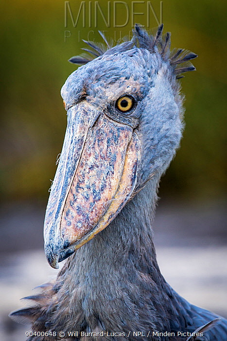Shoebill (Balaeniceps rex) portrait, Bangweulus Swamps, Zambia  -  Will Burrard-Lucas/ npl