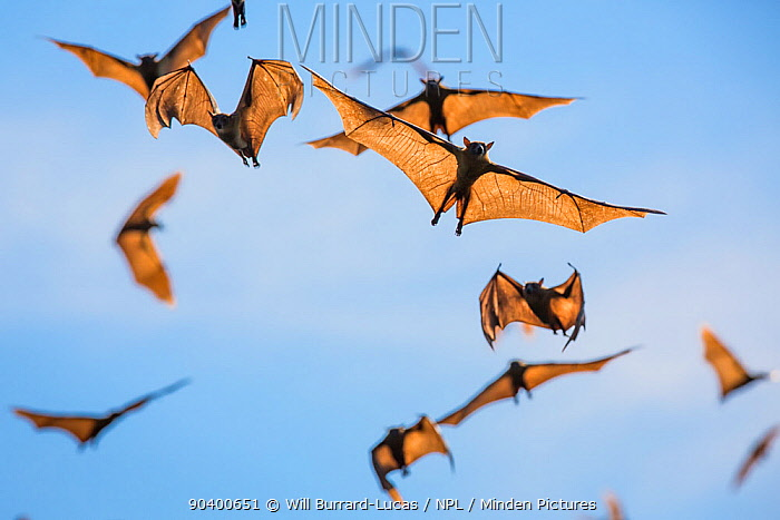 Mass of Straw-coloured fruit bat (Eidolon helvum) in flight, Kasanka National Park, Zambia  -  Will Burrard-Lucas/ npl