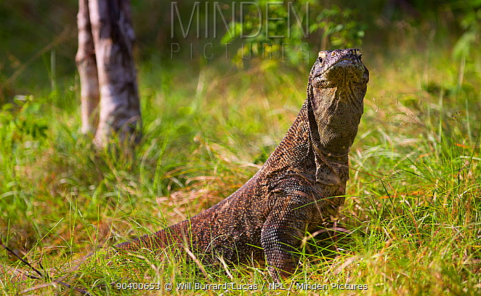 Komodo dragon (Varanus komodoensis) Komodo National Park, Rinca Island, Indonesia  -  Will Burrard-Lucas/ npl