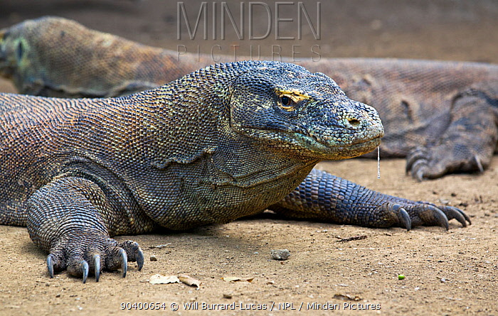 Komodo dragon (Varanus komodoensis) with saliva dripping from mouth, saliva contains virulent bacteria which infects wounds Komodo National Park, Rinca Island, Indonesia  -  Will Burrard-Lucas/ npl