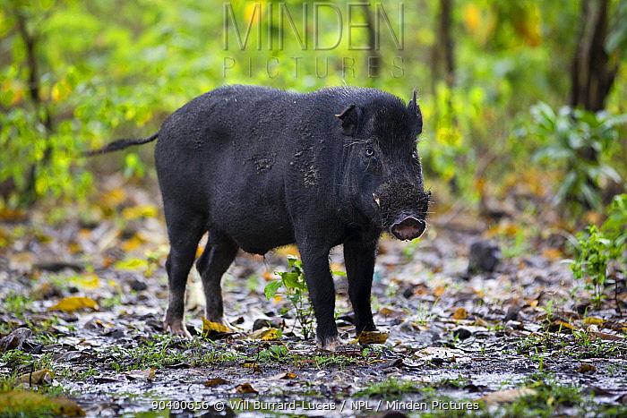 Wild boar (Sus scrofa), prey of Komodo dragon (Varanus komodoensis) Komodo National Park, Komodo Island, Indonesia  -  Will Burrard-Lucas/ npl