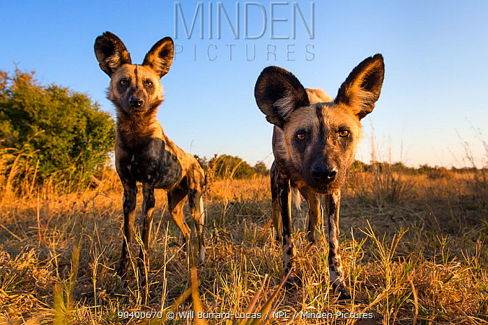 African wild dogs (Lycaon pictus) investigating remote camera, Hwange National Park, Zambia  -  Will Burrard-Lucas/ npl