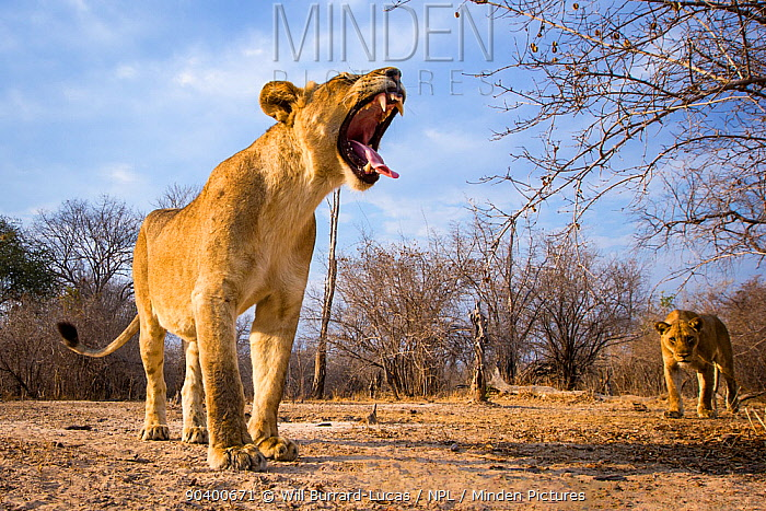 Lioness (Panthera leo) yawning, South Luangwa National Park, Zambia, photographed with remote camera  -  Will Burrard-Lucas/ npl