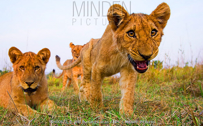 Young Lions (Panthera leo) resting near remote camera, South Luangwa National Park, Zambia  -  Will Burrard-Lucas/ npl