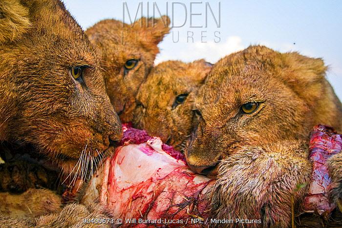 Lions (Panthera leo) feeding on an impala, taken with remote camera, South Luangwa National Park, Zambia  -  Will Burrard-Lucas/ npl
